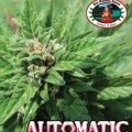 Automatic (Big Buddha Seeds)