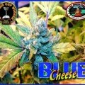 Blue Cheese (Big Buddha Seeds)