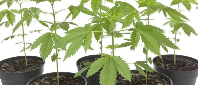 Alles Was Du Zu Cannabis-Phänotypen Und -Genotypen Wissen Musst