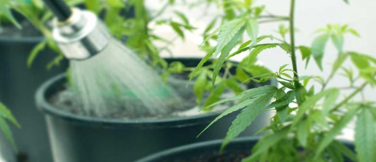Alles Über Das Spülen Deiner Cannabispflanzen