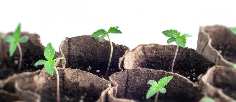 Wichtige Überlegungen für den erstmaligen Anbau von Cannabis