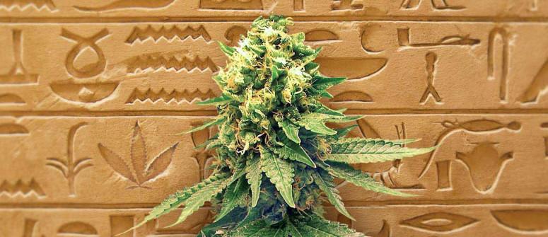 Die Geschichte der autoflowering Cannabissamen