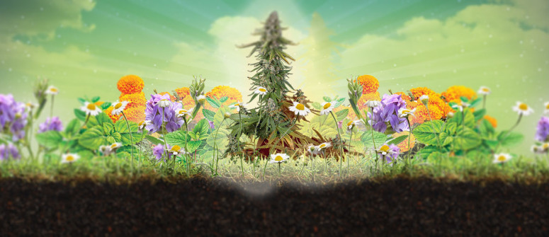 Was ist Begleitpflanzung und warum eignet sie sich für Cannabis?