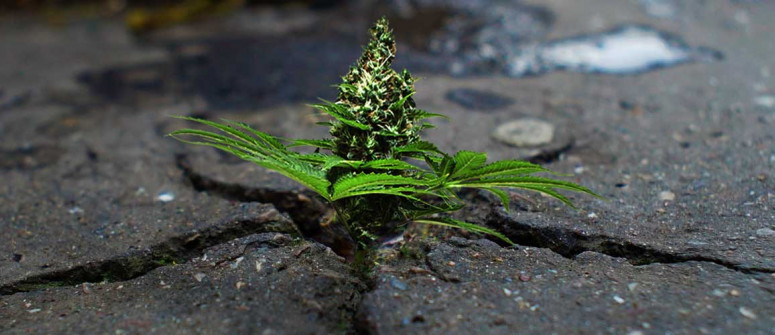 Könnte die Legalisierung Vorteile für die Umwelt mit sich bringen?