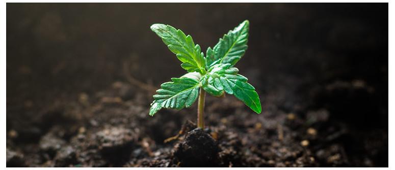 Weed vegan anbauen: Eine Einführung in veganes Gärtnern