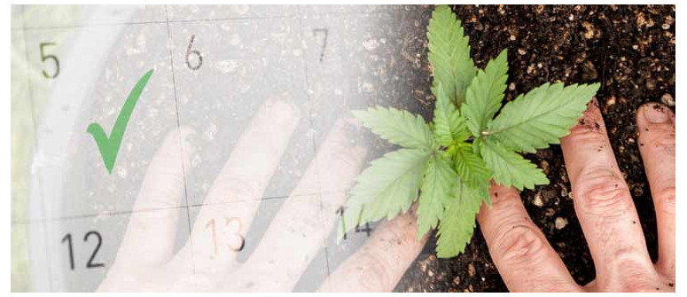 Was ist die beste Zeit, um mit dem Cannabisanbau im Freien zu beginnen?