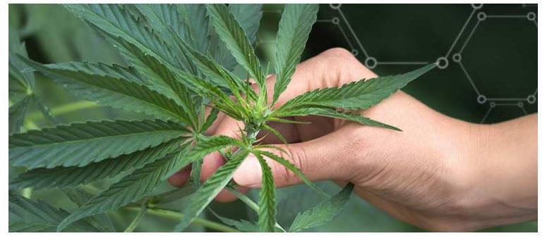 Was ist die Minimalmenge an Nährstoffen für den Cannabisanbau im Freien?