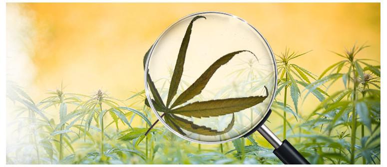Was ist Cannabis-Windbrand und wie vermeidest Du ihn