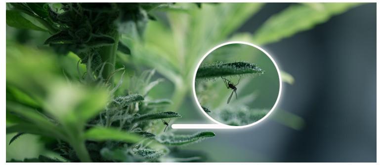 Trauermücken um und auf Cannabispflanzen. Was tun?