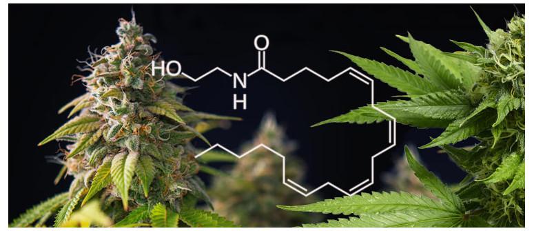 Was Ist Anandamid Und Wie Hilft Es Cannabisnutzern?