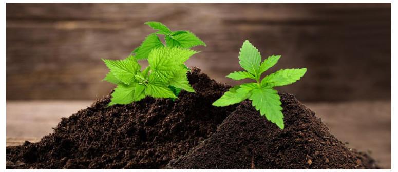 Warum Brennnesseln in Deinem Cannabisgarten von großem Nutzen sein können