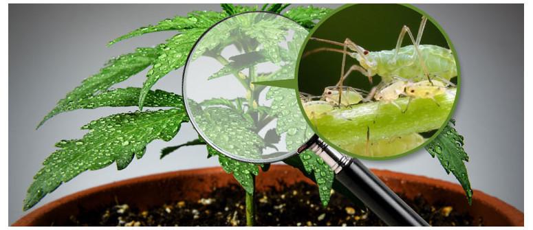 Blattläuse und Marihuana: Prävention, Identifikation und Behandlung