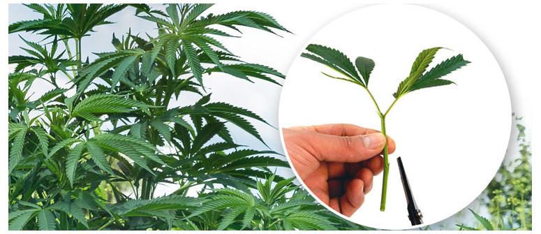 Was bedeutet es, wenn eine Cannabissorte