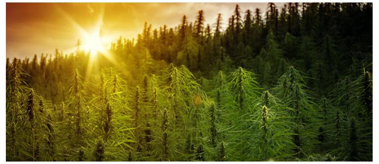 Die Bedeutung von Dunkelheit für Cannabispflanzen