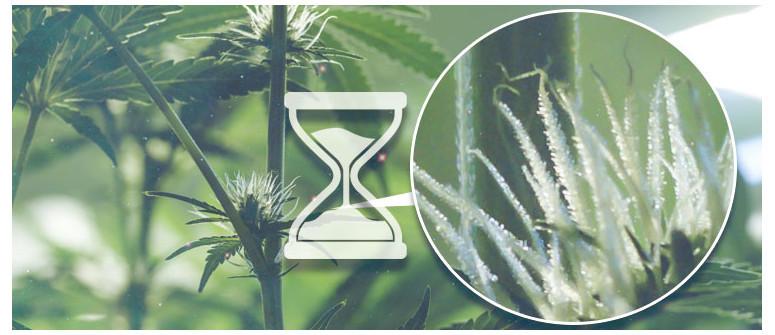Wann beginnt man mit dem Zählen der Tage der Blütezeit von Cannabis?