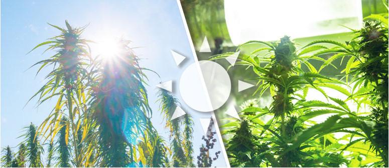 So wichtig ist Licht für den Anbau von Cannabis