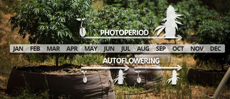 Der Unterschied zwischen photoperiodischen und autoflowering Sorten