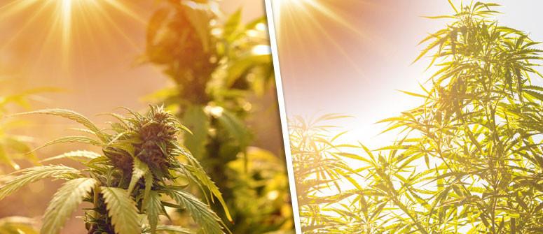 Den Photoperiodismus von Cannabis verstehen