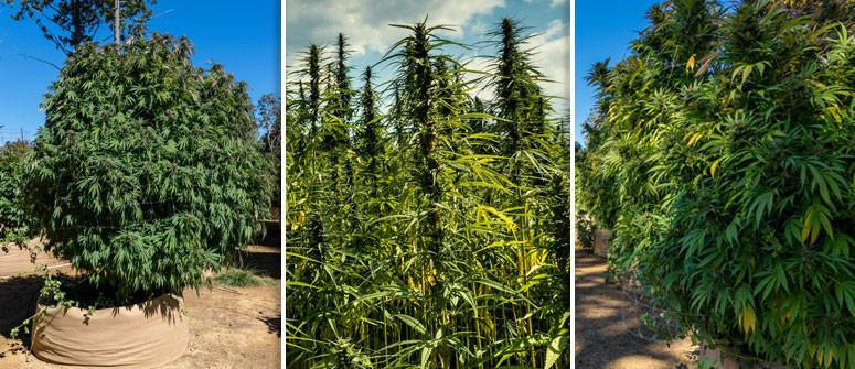 3 Beispiele, Wie Groß Cannabispflanzen Draußen Werden Können
