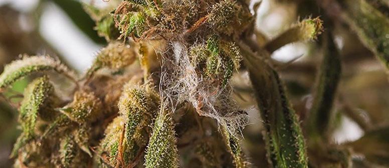 Was Du gegen Blütenfäule bei Cannabispflanzen tun kannst und wie Du sie vermeidest