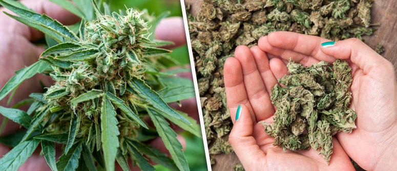 Wie viele Gramm Weed kannst Du von einer einzelnen Pflanze ernten?