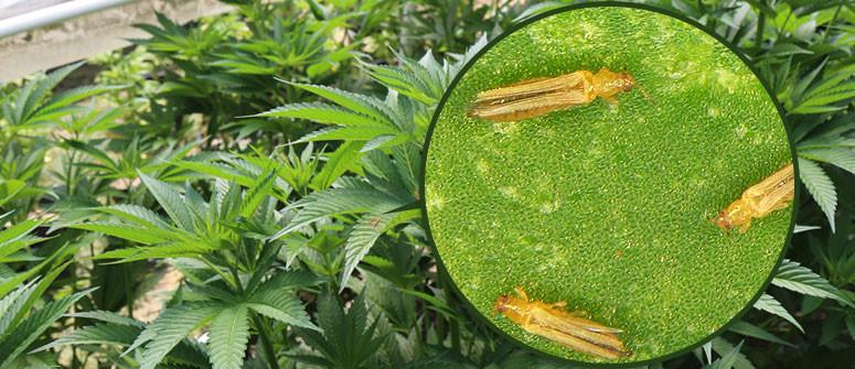 Wie man Thripse auf Cannabispflanzen erkennt und behandelt