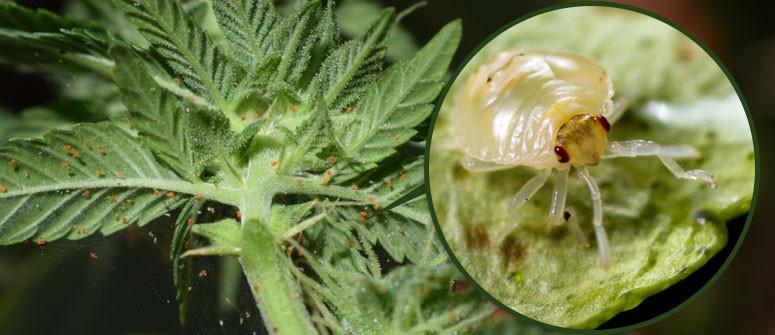 Wie man Spinnmilben auf Cannabispflanzen loswird