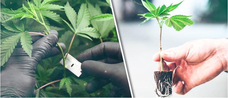 Wie erhält man Stecklinge von Cannabispflanzen