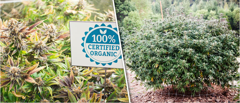 8 Gründe, warum Marihuana biologisch angebaut werden sollte