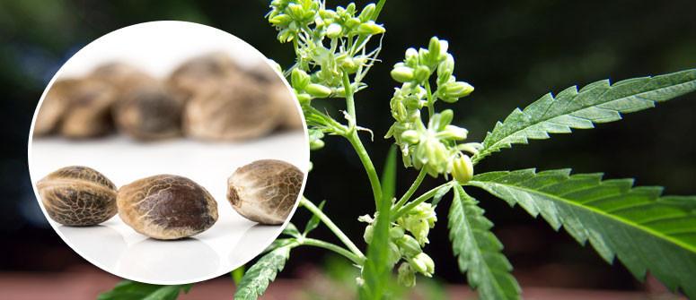 Wie Du Deine eigenen Cannabissamen produzierst