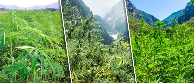 Was sind Landrassen-Cannabissorten?