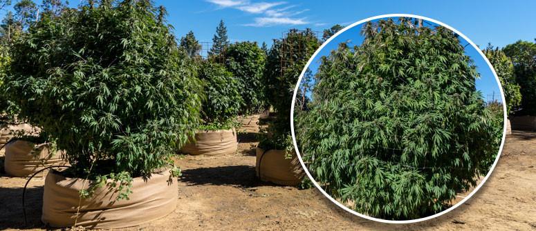 Was Bedeutet Cannabis Indica?