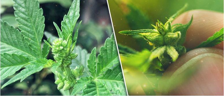 Was du mit männlichen Cannabispflanzen tun kannst