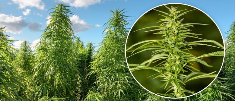 Was ist Cannabis Sativa?