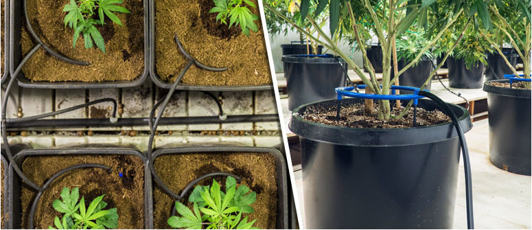 Wie funktioniert Tröpfchenbewässerung bei Cannabis?