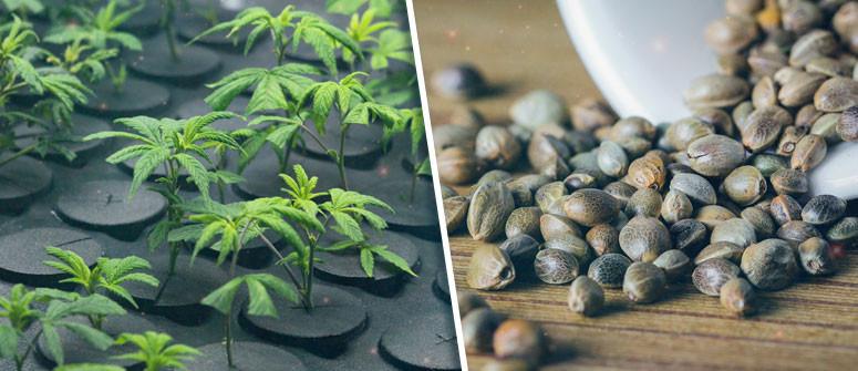 Cannabissamen vs. Klone: Was ist das Richtige für Dich?