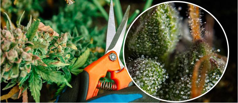 Ernte Deine Pflanzen Im Richtigen Moment, Um Das Beste Gras Zu Ernten