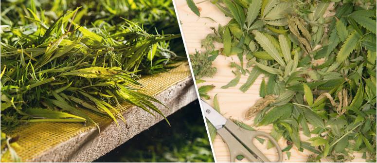 Was Man nach der Ernte mit Cannabisverschnitt anstellt