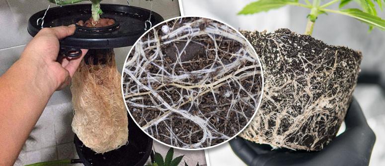 Warum ein gesundes Wurzelsystem so wichtig ist Für Den Cannabisanbau