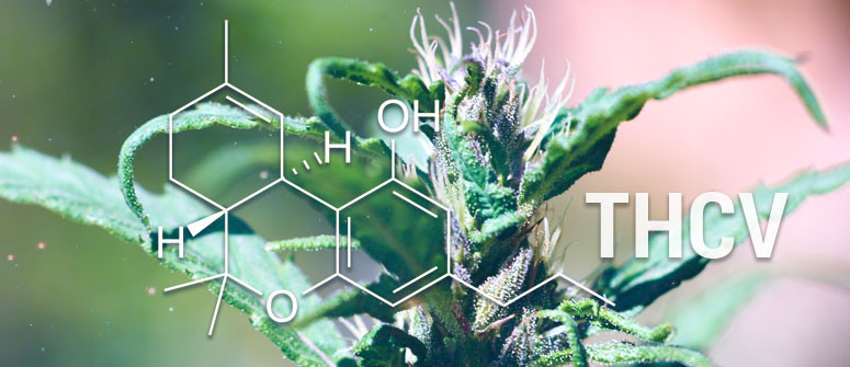 Was Ist THCV (Tetrahydrocannabivarin)