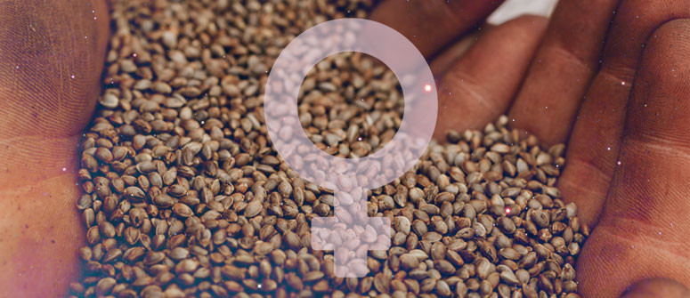 Wie Du Deine eigenen feminisierten Samen herstellst
