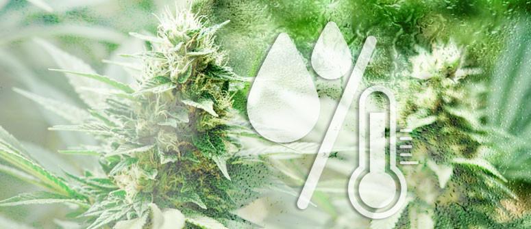 Die ideale Luftfeuchtigkeit für den Anbau von Cannabis
