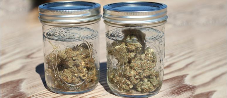 Wasseraushärtung von Marihuana-Knospen