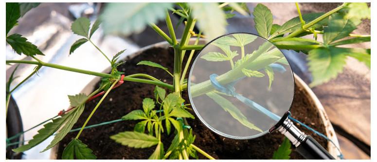Leitfaden für Low Stress Training (LST-Technik) bei Cannabispflanzen