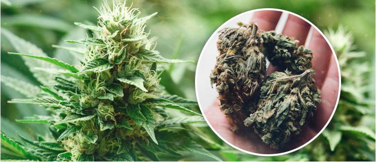 9 Tipps, wie man mit autoflowering Cannabispflanzen größere Erträge erzielt