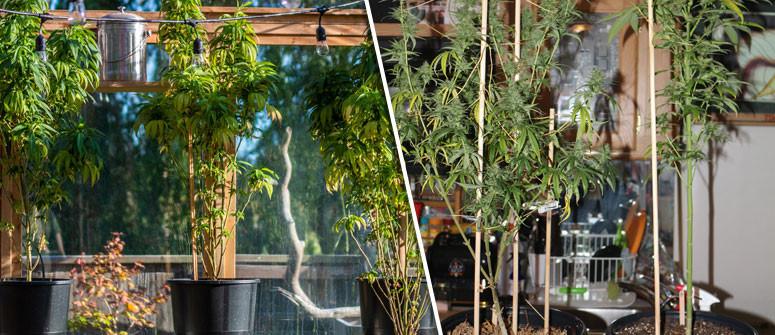Wie Man das Strecken von Cannabispflanzen vermeidet