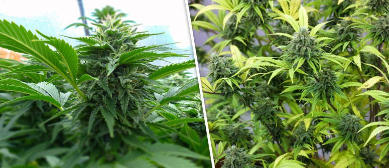 Was sind Autoflowering Cannabissorten