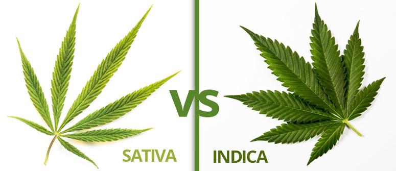 Infografik: Unterschied Cannabis Sativa und Indica