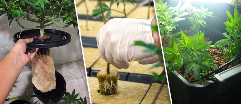 Die Vor- und Nachteile des Cannabisanbaus in Hydrokultur