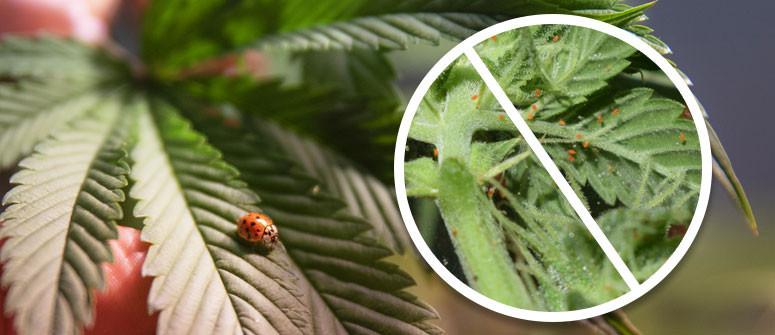 Die Verwendung von Marienkäfern als Schutz für Deinen Cannabisgarten